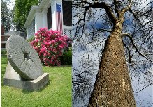 Grist millstone/Sycamore tree